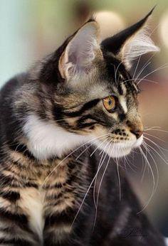 cat, coon kitten