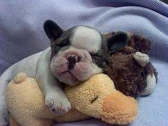 nap time, french bulldogs, bulldog puppies, teddy bears, cuddle buddy, sleeping babies, night night, stuff animals, ador