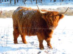 scottish highland cattle snow  ... scottish highlands ...