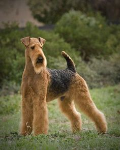 Breed of the Week: AIREDALE TERRIER *Area of Origin: England *Date of Origin: 1800s *Original Function: badger, otter hunting #dog #breed