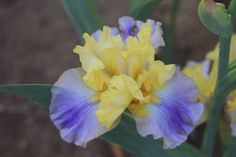 Iris - from my garden