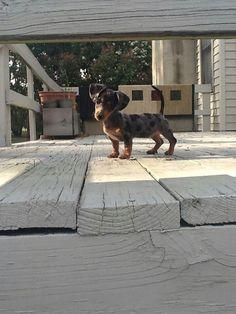 anim, dogs, doggi, cuti, dappl, dachshunds, awww puppi, ador, friend