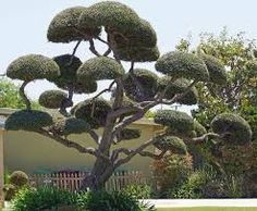 cloud pruned trees - Google Search