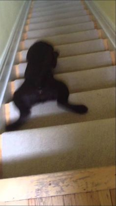 10 seconds of adorableness! This lab puppy hasn't figured out stairs yet .... lol awhhh!
