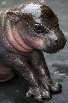 Baby Hippo!!!!!