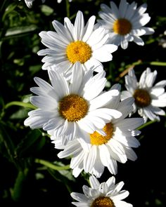 Planting Daisies This Year