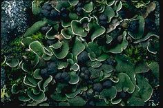 """Psora nipponica (""""butterfly scale"""") on a mossy rock in the mountains of southern Colorado. The growth form of this lichen, with its overlapping small lobes, is called """"squamulose."""" The dark lumps are the fruiting bodies of the lichen fungus.  Photograph copyright Stephen/Sylvia Sharnoff"""