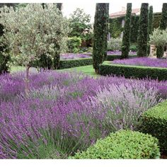 Lavender at its best