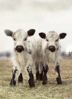 ❥ cute bovine