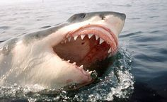 Magnificent great white!