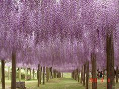 Wisteria Tunnel at Kawachi Fuji Gardens, in Kitakyushu, Japan.