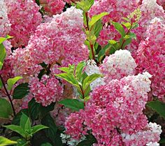 Vanilla Strawberry Hydrangea $29.95