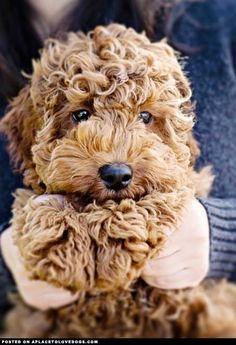 labradoodle puppy; so cute, it looks like a stuffed animal!