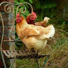 . chicken, farm, anim, rooster, tea, old chairs, garden, countri, hen