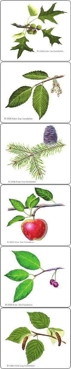 Tree Leaf Identification Card Game