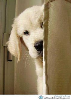 A little Golden Retriever peeking. Can we say whatcha doin?