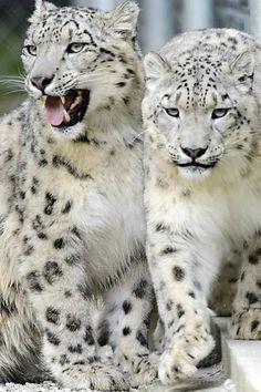 Casal de leopardo das neves que vive no zoológico de Servion, na Suíça.