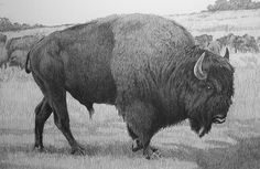 Buffalo by bigjbelt, via Flickr