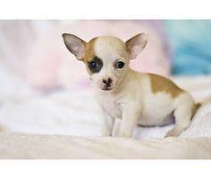Tiny Baby Teacup Chihuahua
