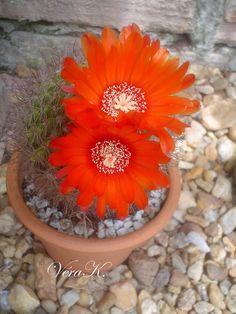 Flores de cactos!