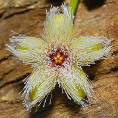 Stapelia glanduliflora flower