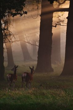 forest deers <3