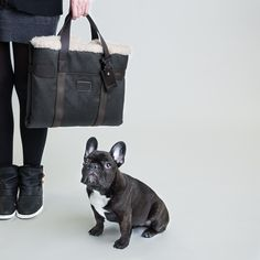 French Bulldog, Dog