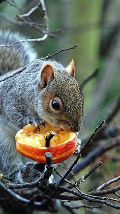 squirrel, gray, food