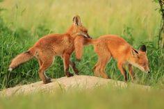 #fox #foxes