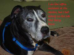 Adoptable Fridays - Keno > gotta love a senior - via Dog Shaming
