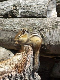 Panamint chipmunk (Tamias panamintinus) is endemic to desert mountain areas of southeast California and southwest Nevada in the United States.