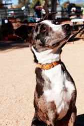 Phoenix is an adoptable Catahoula Leopard Dog Dog in Phoenix, AZ. Phoenix was first found as a stray when he was a 3 month old puppy. He got adopted out and has been living with kids and 2 little Doxi...
