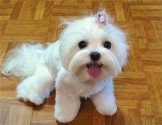 cute Maltese - love her haircut
