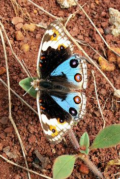 Blue Pansy male butterfly (Junonia orithya), Nymphalidae