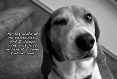 anim, beagl, funny dogs, silly dogs, funni, dog wink, funny dog pictures, puppi, true stories