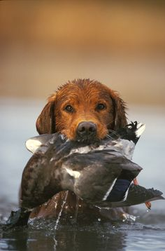 The Retriever. #Dogs #Hunting