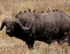 #Buffalo #bird