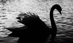 Swoomie Swan