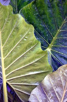 Tropical leaves plant, enjoy colour, tropic leav, earth art, awesom leav, feuill