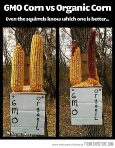 Interesting experiment…and they said GMO corn is suppose to be bigger and better...right.