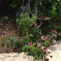 Pink cone flowers and blue salvia