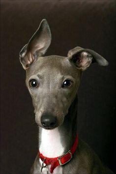 anim, dogs, dream, italian greyhound, ears, puppi, whippets, portrait, dog breeds