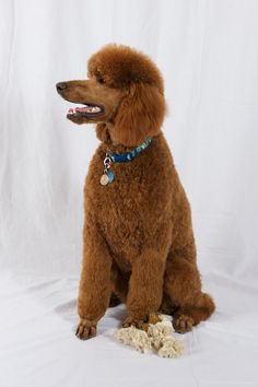 standard poodles, beauti poodl, red poodl, mop poodl