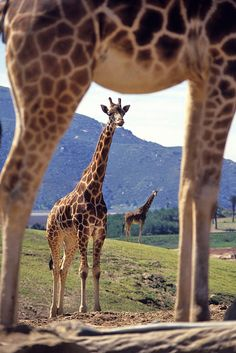 Unique shot of Giraffe