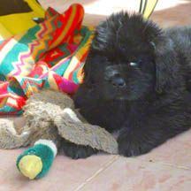 Newf pups are adorable - find out how to choose your breeder!