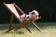 Tetley: Mini piglet from Pennywell Farm, Devon, England....She WILL be mine!