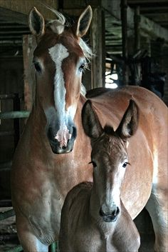 Draft mare with her pretty mule foal.