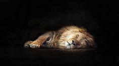 """""""The Lion sleeps tonight - II"""" by Jan Wiedemann on 500px"""