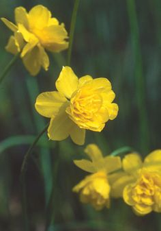 "Queen Anne's Double Jonquil daffodil: Looking like prom dresses for honeybees, these tiny, exquisite double jonquils are fluffy with extra petals and swooningly fragrant.  8-10"", zones 6b-8bS"