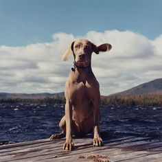 dog days, exhibitions, art museum, dogs, museums, william wegman, travel deals, dog photography, colleg